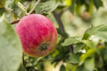 Обработка яблонь весной и осенью от болезней и вредителей: Народные средства, чем обработать и чем опрыскивать?