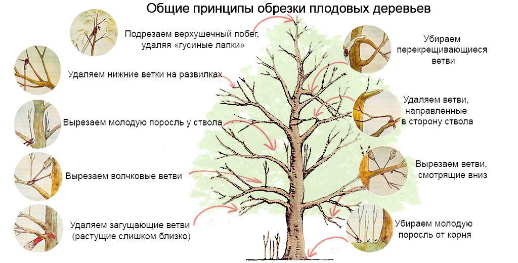 когда и как обрезать плодоносящие деревья весной