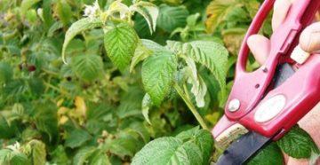 как правильно обрезать малину весной