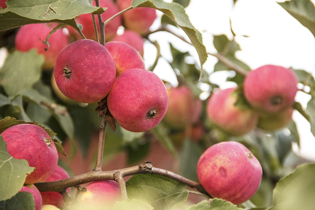 Когда сажают яблоню осенью или весной