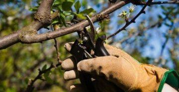 Обрезка яблонь весной и осенью видео для начинающих в деталях: Как правильно обрезать молодые и старые яблони. Сроки обрезки.
