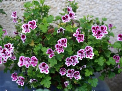 Pelargonium Angeleyes