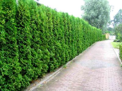 Киппарисовик вечнозеленые