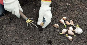 когда сажать чеснок весной