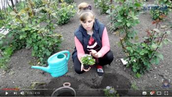 Видео как высаживать агератум в открытый грунт